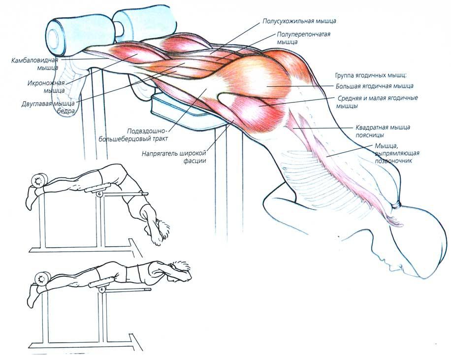 мышцы, задействованные при гиперэкстензии