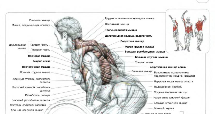 мышцы задействованные при тяге штанги в наклоне