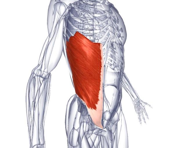 наружняя косая мышца живота