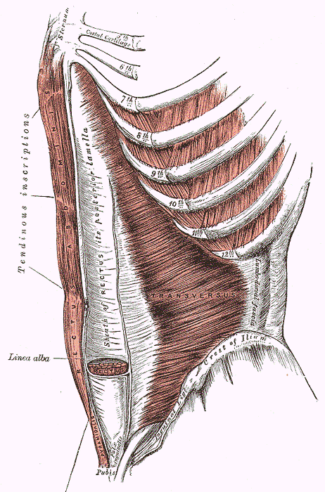 пирамидальная мышца живота