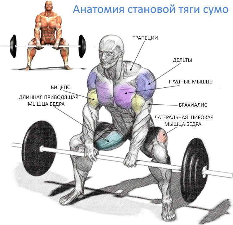 Анатомия мышц, задействованных при становой тяге сумо