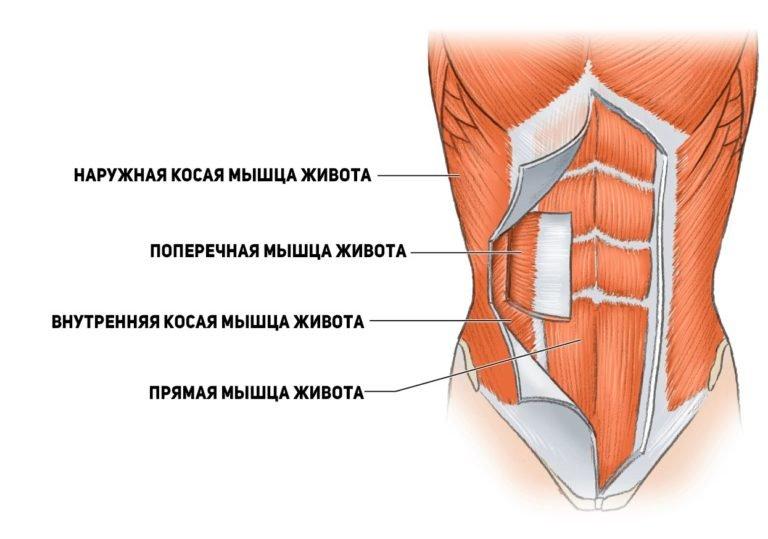 Особенности анатомии мышц живота