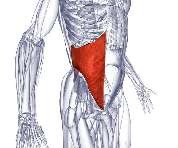 внутренняя косая мышцы живота
